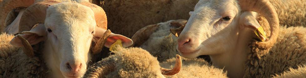 Naturhaar-Schaf