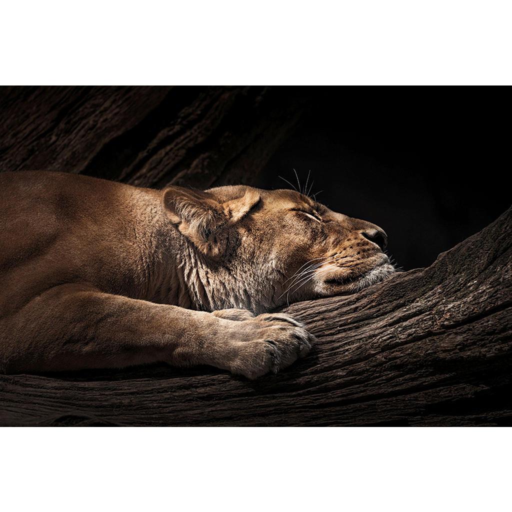 Wiedemann Bild Schlafende Löwin