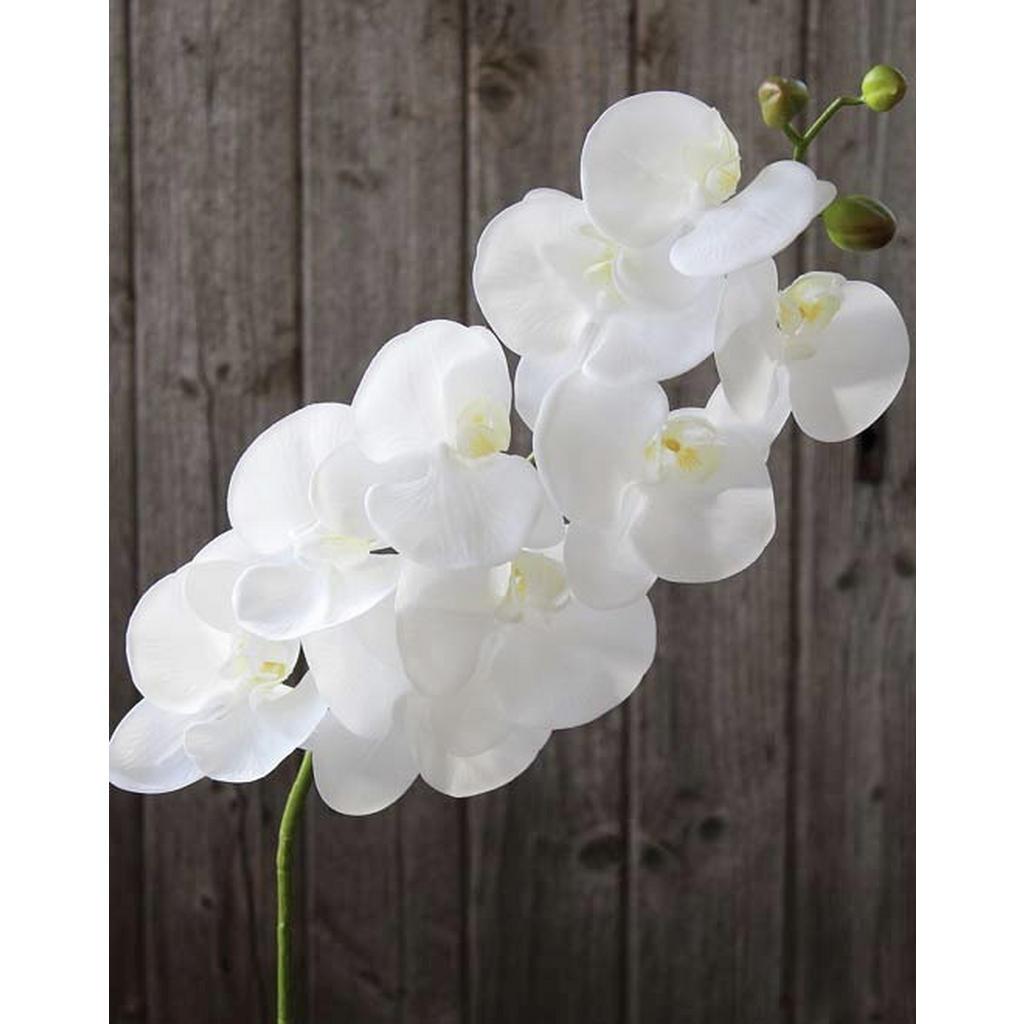XXXLutz Phalänopsis orchidee