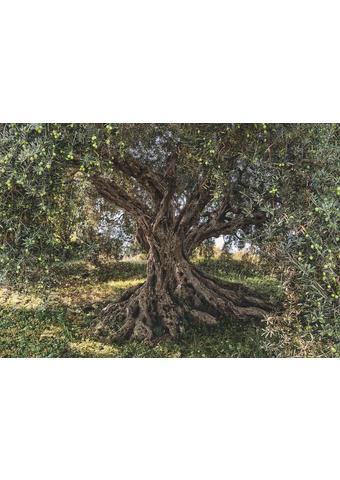 FOTOTAPETA OLIVE TREE, 8-531 - zelena/rjava, Trendi, papir (368/254cm)