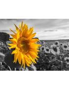 Blumen KEILRAHMENBILD  - Multicolor, Trend, Holz/Textil (80/60cm)