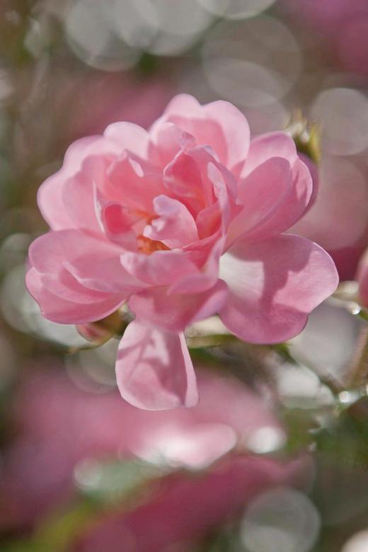 FOTOTAPETA ROŽA, 4-713 - bela/svetlo roza, Konvencionalno, papir (184/254cm)