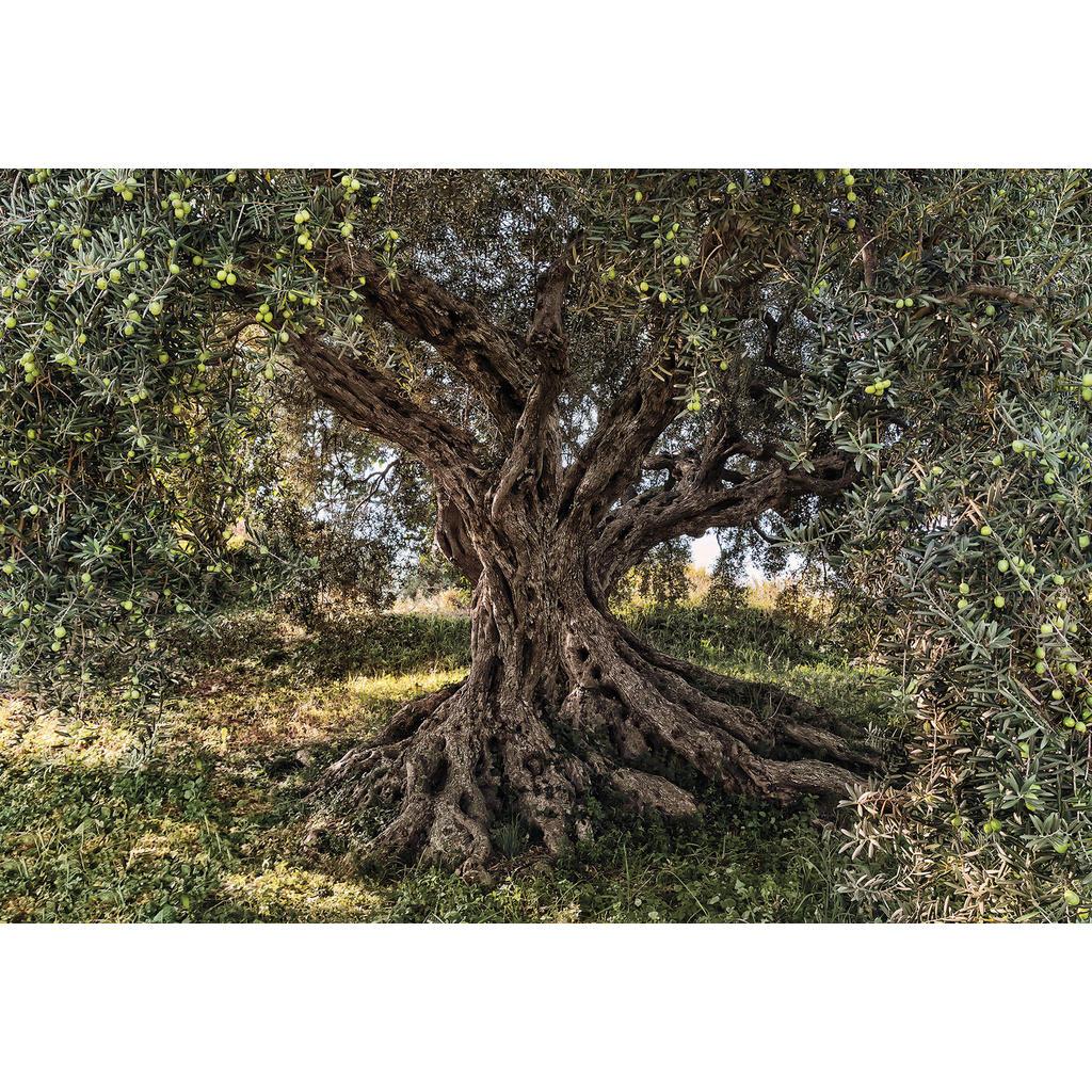Komar Fototapete Olive Tree